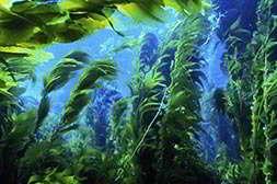 В водорослевом коктейле detox натуральный состав