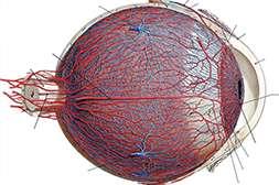 Благодаря Оптитрину нормализуется кровообращение.