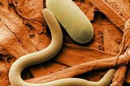 Капсулы Ашвамин уничтожают всех паразитов.