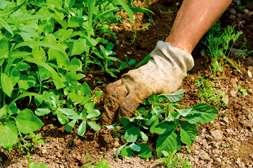 Удобрение Агромастер убивает различные виды сорняка.